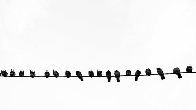 The capital's pigeons