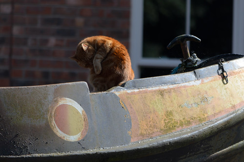 Ginger: cat about