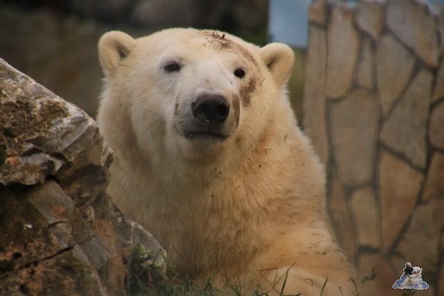 Eisbär Fiete im Sosto Zoo 30.09.2017 023