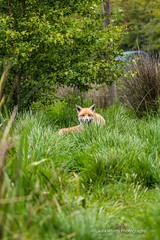 HolderCurious female fox.