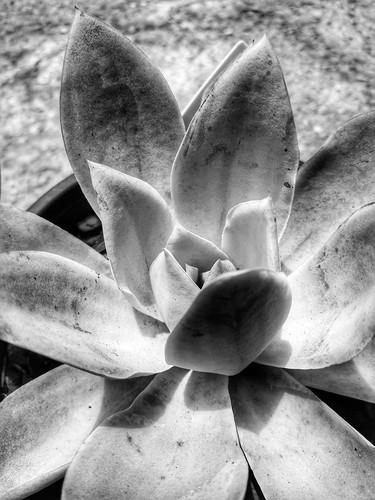 Flores em meu quintal ... Quase uma Lotus...