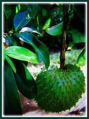 Beautiful green and prickly fruit of Annona muricata (Soursop, Prickly Custard Apple, Durian Belanda in Malay), 22 Oct 2017