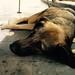 Skopje dog
