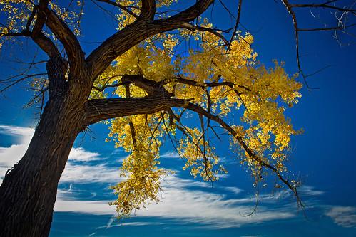 davidleeshort colorado autumn color cedaredge yellow blue tree