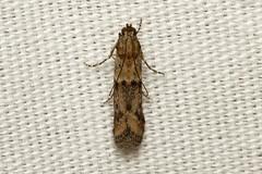 Ephestiodes gilvescentella - Hodges # 6000