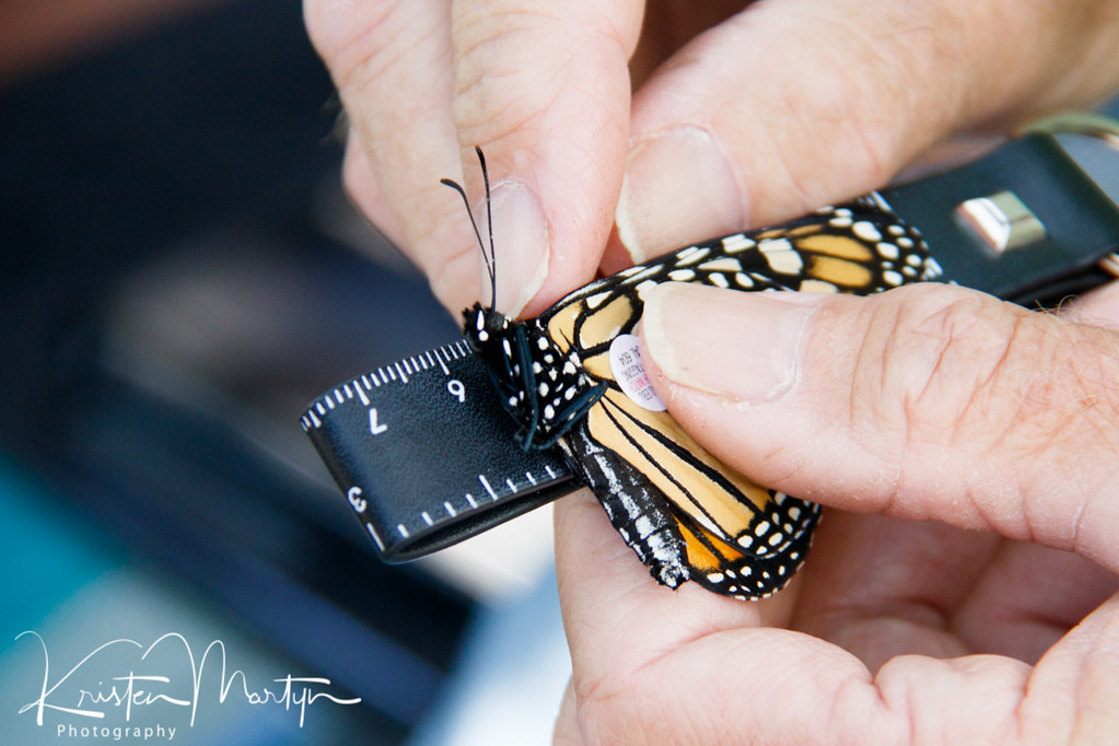 Monarch Butterfly (Danaus plexippus) Tagging, Wing Length