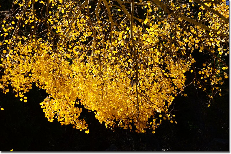 Aspen golden leaves (2)