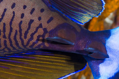Bignose Unicornfish, scalpels - Naso vlamingii