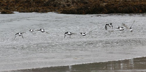 27th September 2017. Oystercatchers leave Old Head Beach, County Mayo, Ireland.