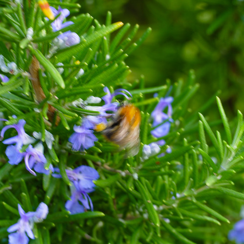 Bee moving fast on rosemary flowers