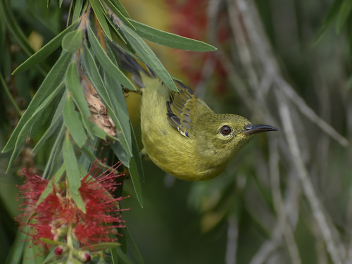 Plain sunbird in red bottlebrush tree