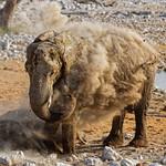 Okaukuejo Waterhole képe. tiere wildlife outjo namibia nam elefant elephant etosha