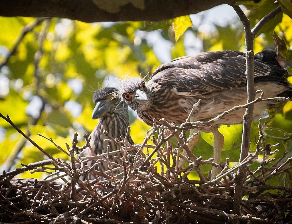 Yellow-crowned night heron nestlings