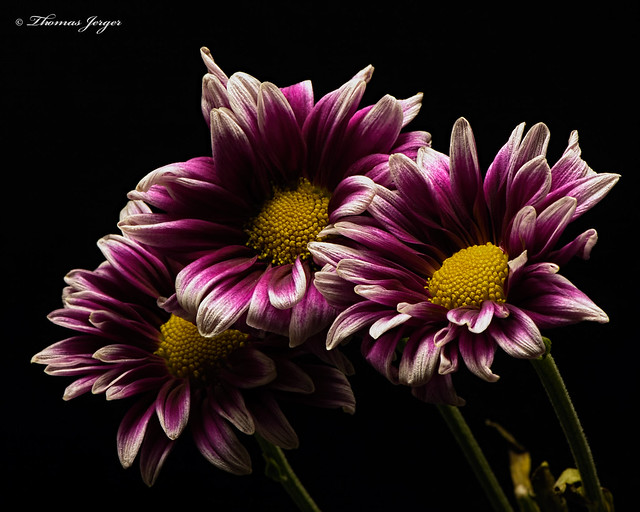 Purple White Mum Trio 1009 Copyrighted
