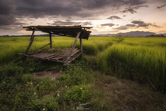 Little hut and endless rice paddy
