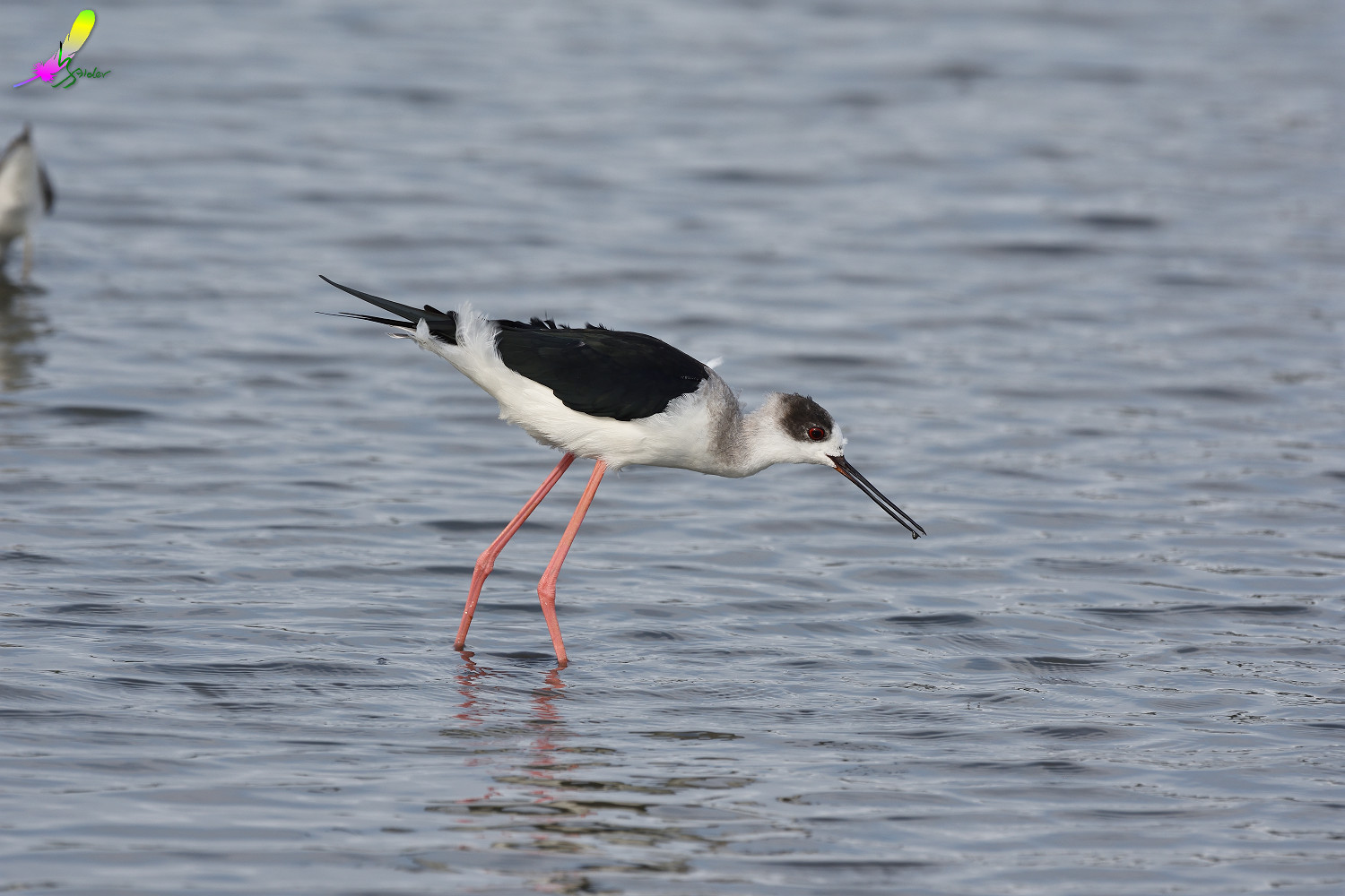 Black-winged_Stilt_2777