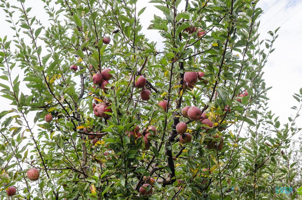Apple tree V1