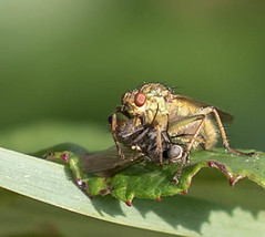 HolderYellow Dung Fly with lunch