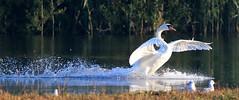 Mute Swan / Swan Lake
