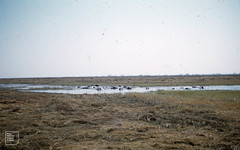 Hippos in pool. Kafue reserve. North Rhodesia