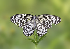 Black and white butterfly with a green background.