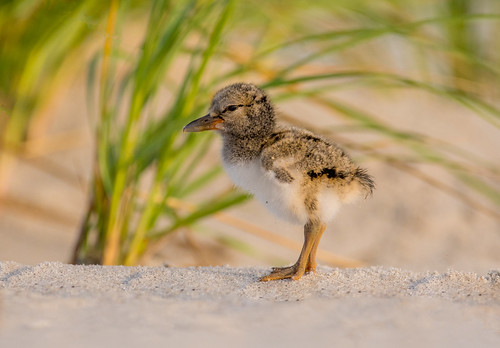 American Oystercatcher Chick