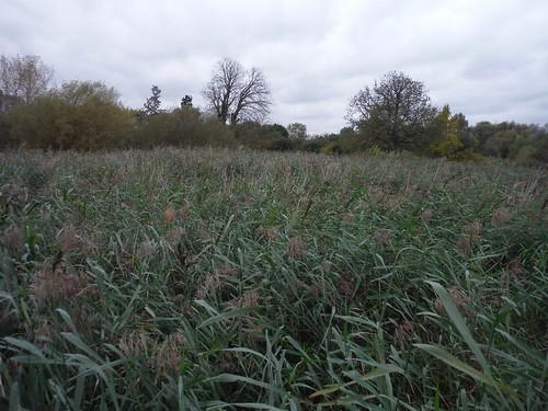 Reedbeds in Wetlands, Morden Hall Park