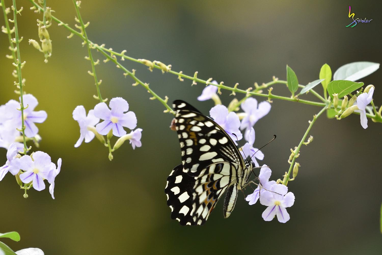 Butterfly_2511
