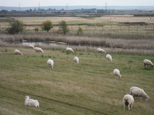 Sheep and Marshes (Teynham Level)
