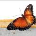 Cethosia biblis - Photo (c) Didier 85, algunos derechos reservados (CC BY-NC-ND)