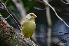 HolderGreenfinch