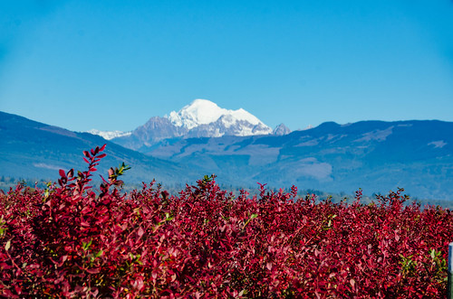 Mount Baker and Blueberry Bushes