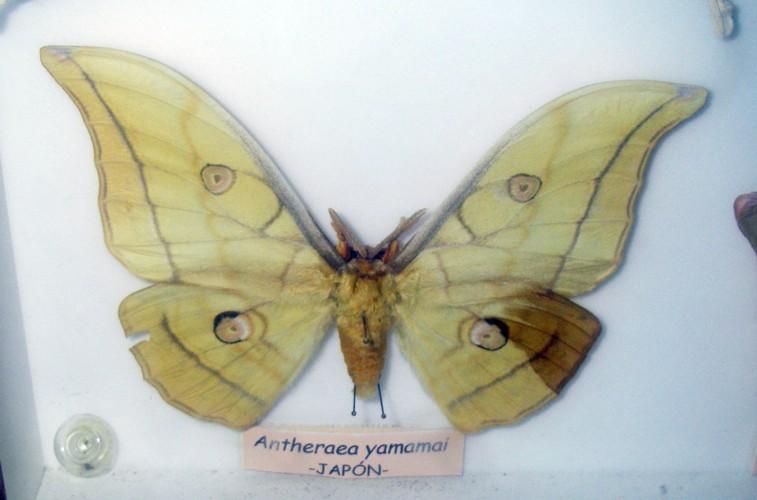 Antheraea yamamai 37230663720_6f87238198_o