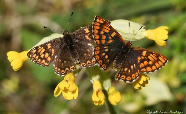 Duke of Burgundy Butterfly (Hamearis lucina) 2017