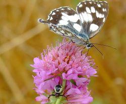 farfalla-r-cazzolla
