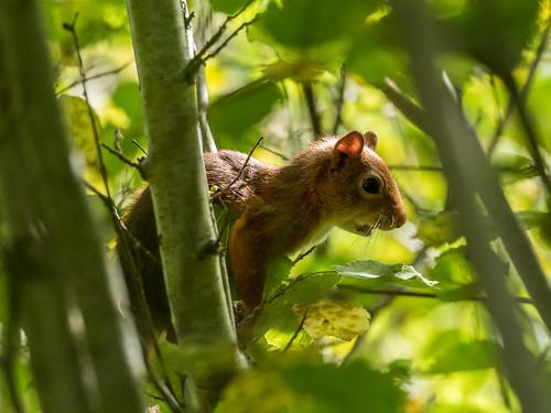 Young Red Squirrel (Sciurus vulgaris)