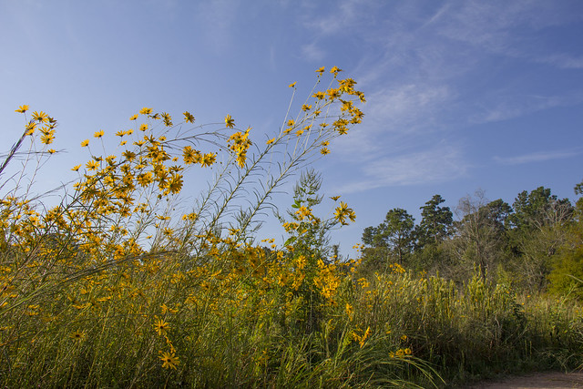 Swamp Sunflowers_6