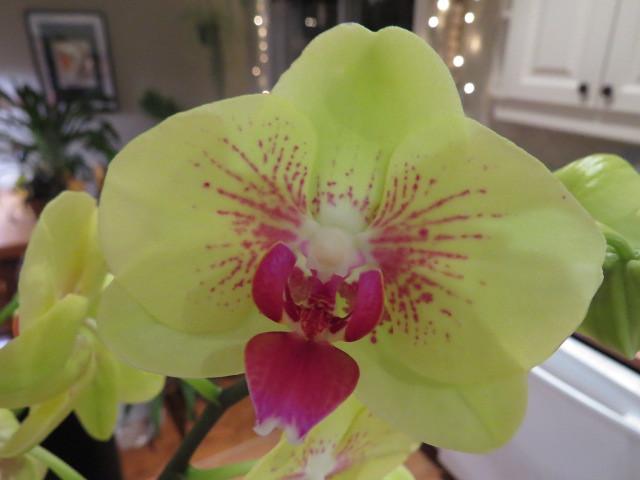 Orchidées chez lavandula - Page 2 37527387310_83e32180aa_z