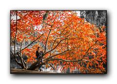 Copacul Rosu