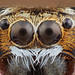 Jumping spider portrait by embebu