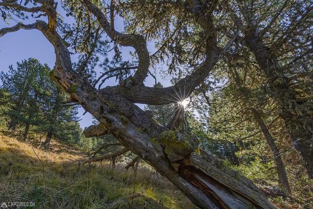 Tree and Sun - God Tamangur