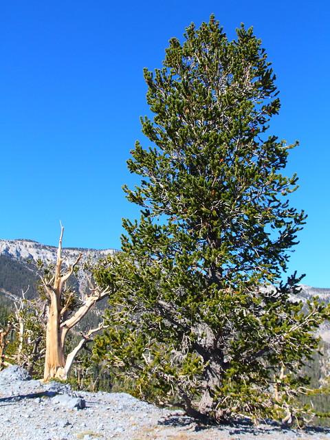 IMG_8098 Great Basin Bristlecone Pine