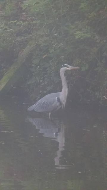 Heron hunting, misty morning