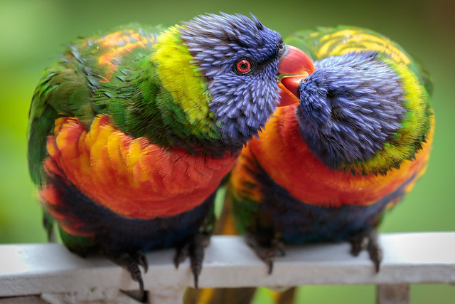 Lorikeet Kiss