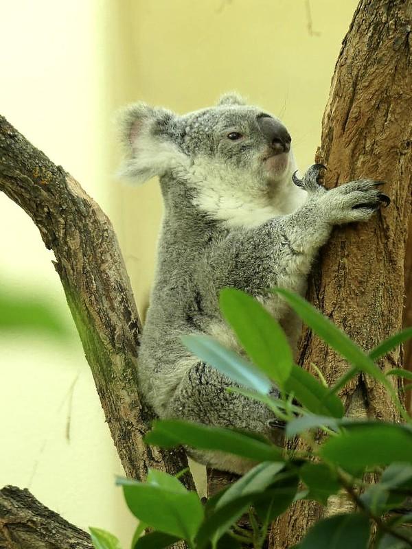 Koala, Tiergarten Schönbrunn