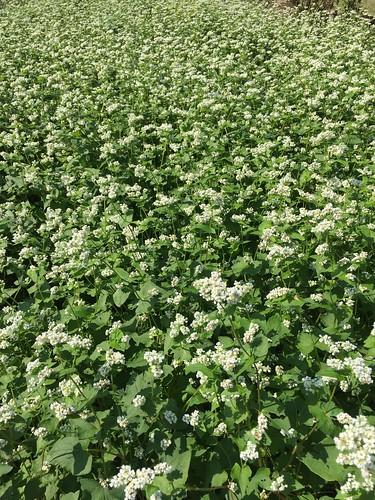 昭和記念公園 ソバの花