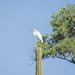 Great egret por apmckinlay