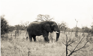 Elephant: Kruger National Park