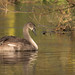 Signs of a Cygnet