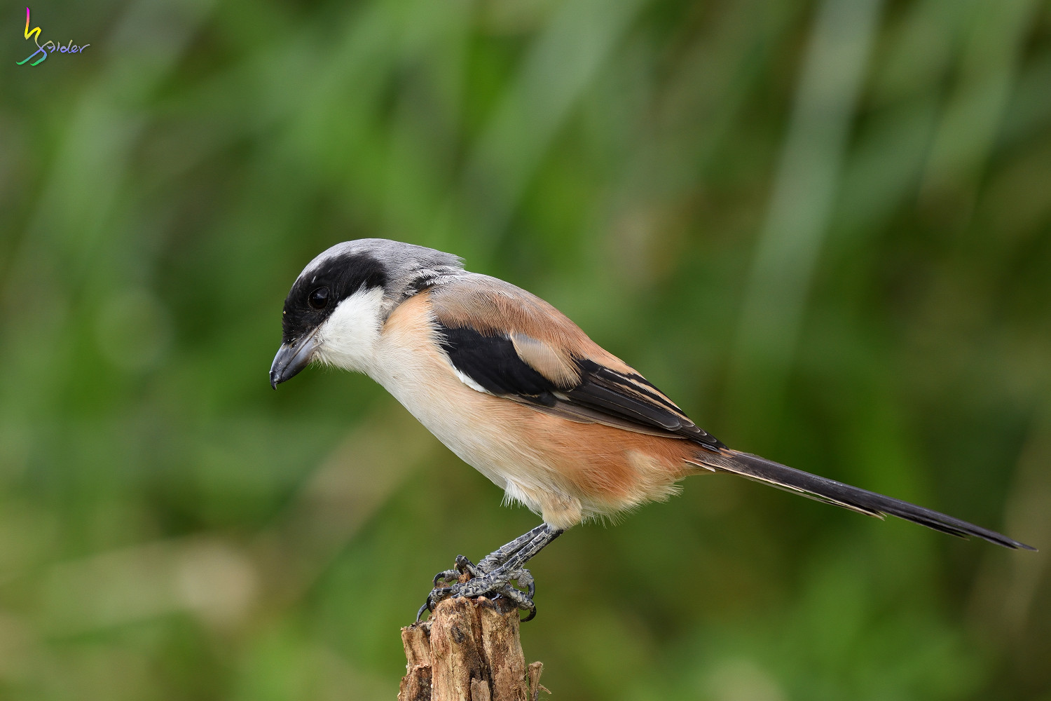 Long-tailed_Shrike_0889